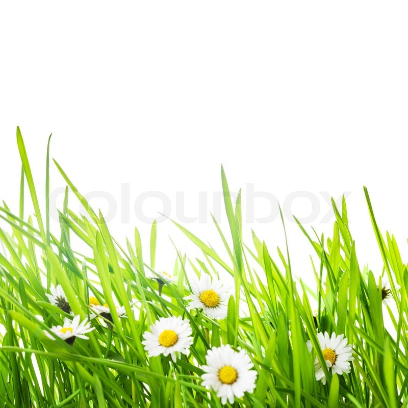 Border With Green Grass And Daisy ...