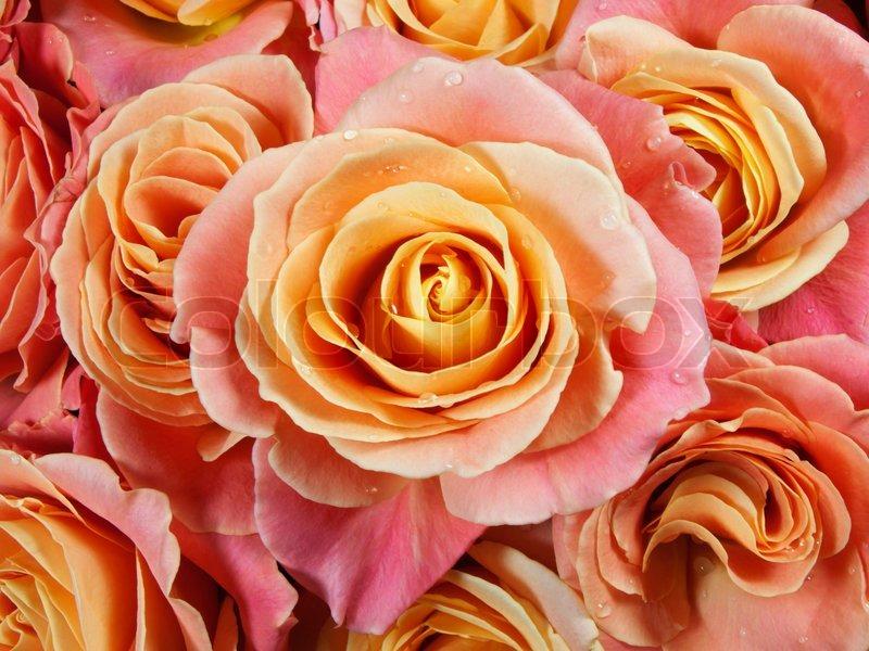 nahaufnahme bunte rosen rosa gelb orange stockfoto colourbox. Black Bedroom Furniture Sets. Home Design Ideas