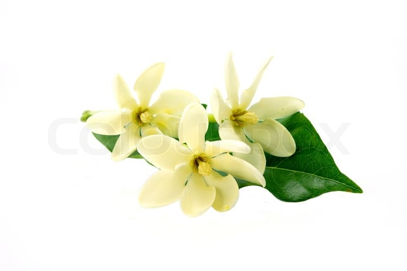 Golden Gardenia flower or Gardenia carinata Wallich with leaf isolated on white background, stock photo