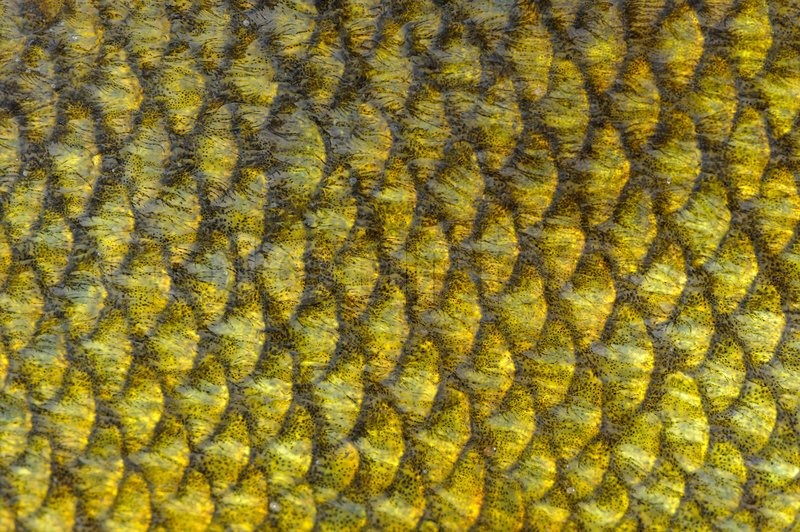 Real tench fish scales close up as background texture for Best digital fish scale