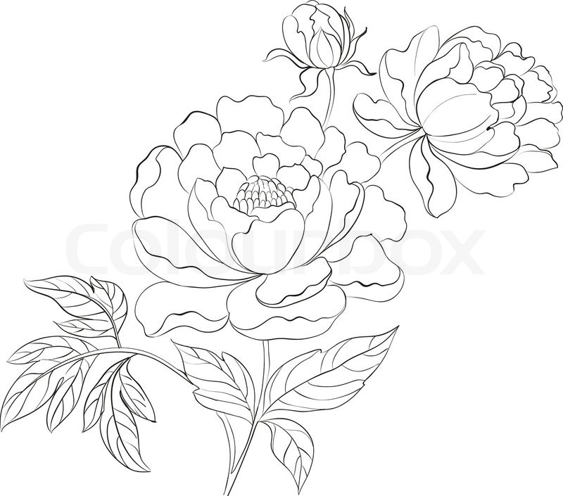 pfingstrose zeichnen blumen zeichnung, pfingstrosen tinte hintergrund   vektorgrafik   colourbox, Design ideen