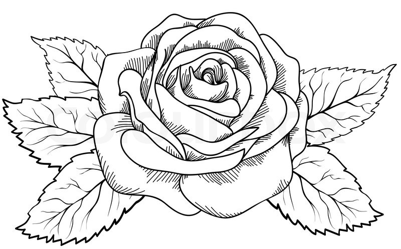 Shoe Flower Line Drawing : Beautiful rose in the style of black and white engraving