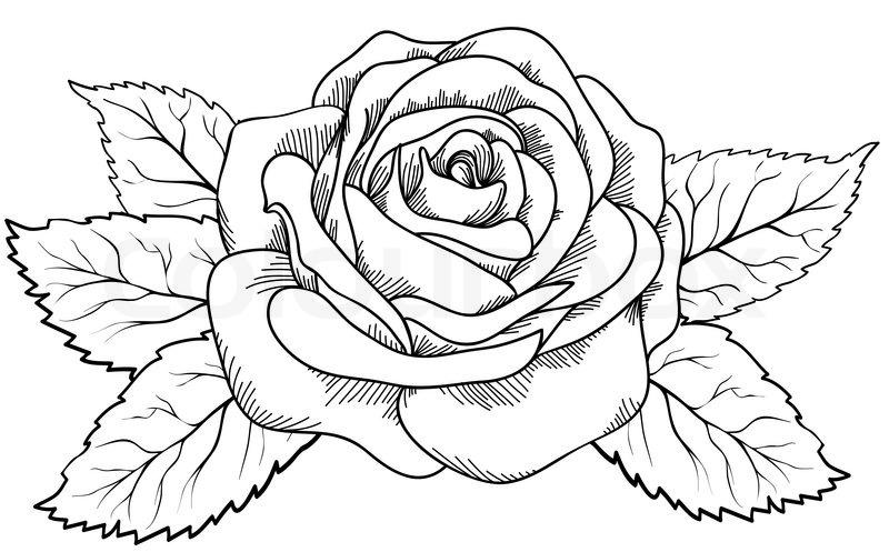 smuk rose i stil med sorte og hvide gravering