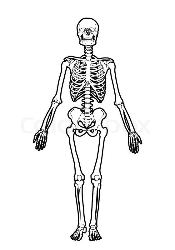 outline human skeleton on white