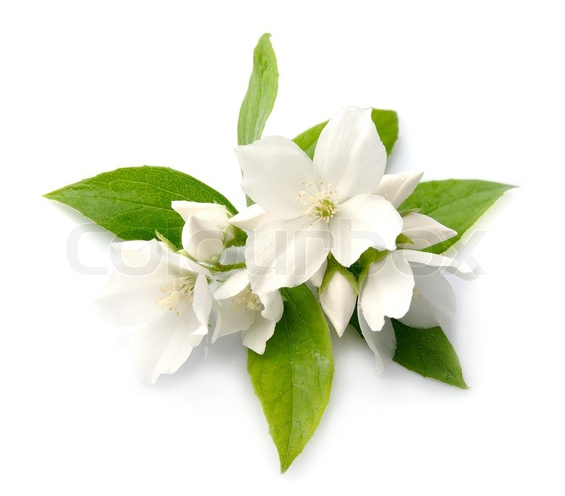 White flowers of jasmine stock photo colourbox mightylinksfo
