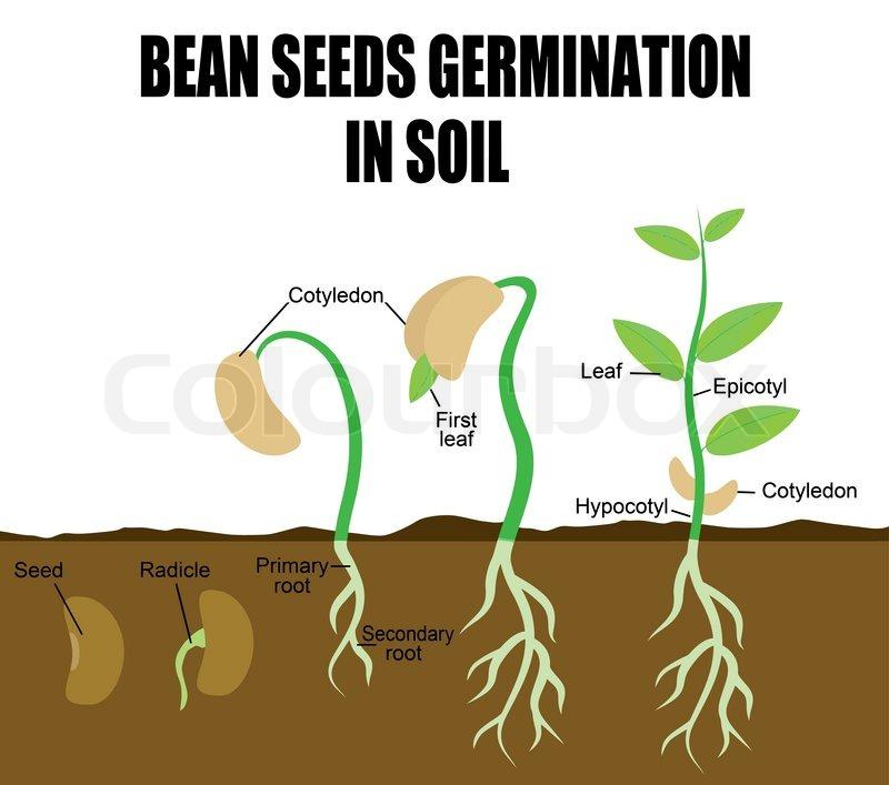 Sequence of bean seeds germination   Stock Vector   Colourbox