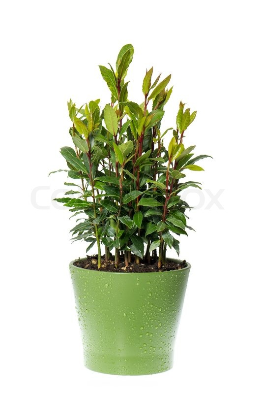Bay laurel plant in pot on white background | Stock Photo ...