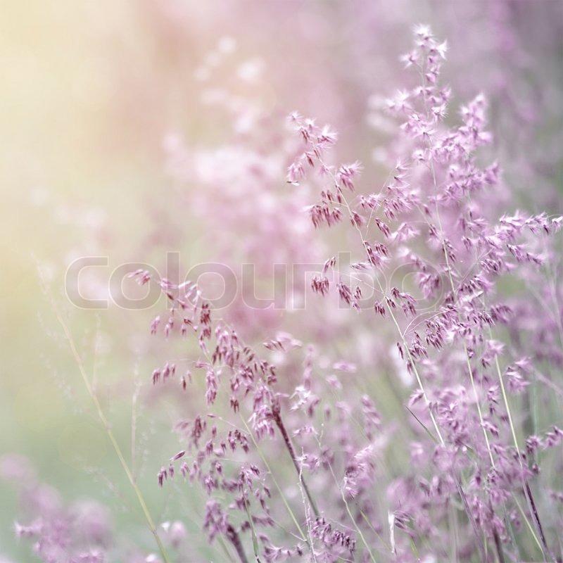 hintergrund der sch nen farbe lavendel bl hen sie feld frisch sanften lila wildblumen in. Black Bedroom Furniture Sets. Home Design Ideas