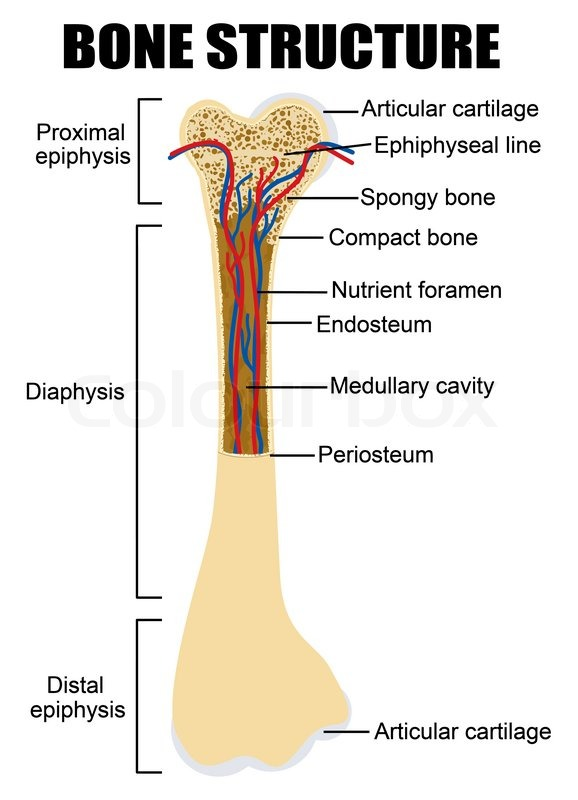 Diagram Of Human Bone Anatomy Useful For Education In Schools And Clinics