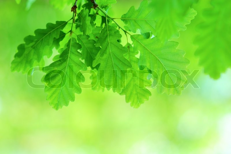 Fresh and young oak leaves in springtime, stock photo