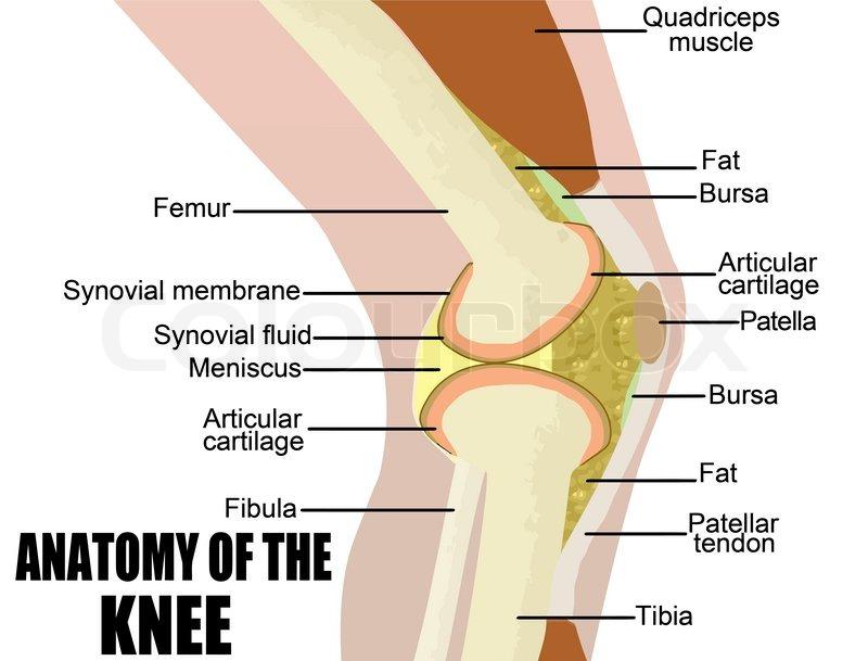 Anatomie des Knies | Vektorgrafik | Colourbox