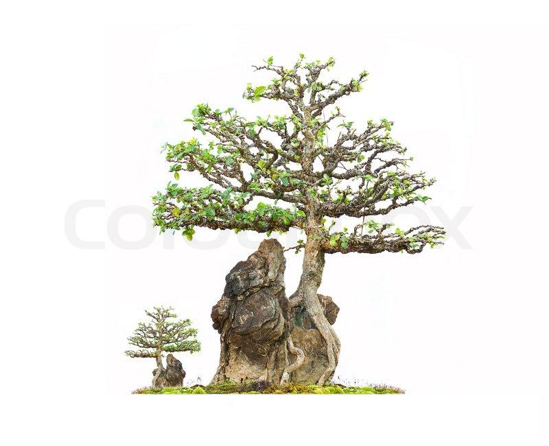 barbados kirsche bonsai baum auf stein mit wei em. Black Bedroom Furniture Sets. Home Design Ideas