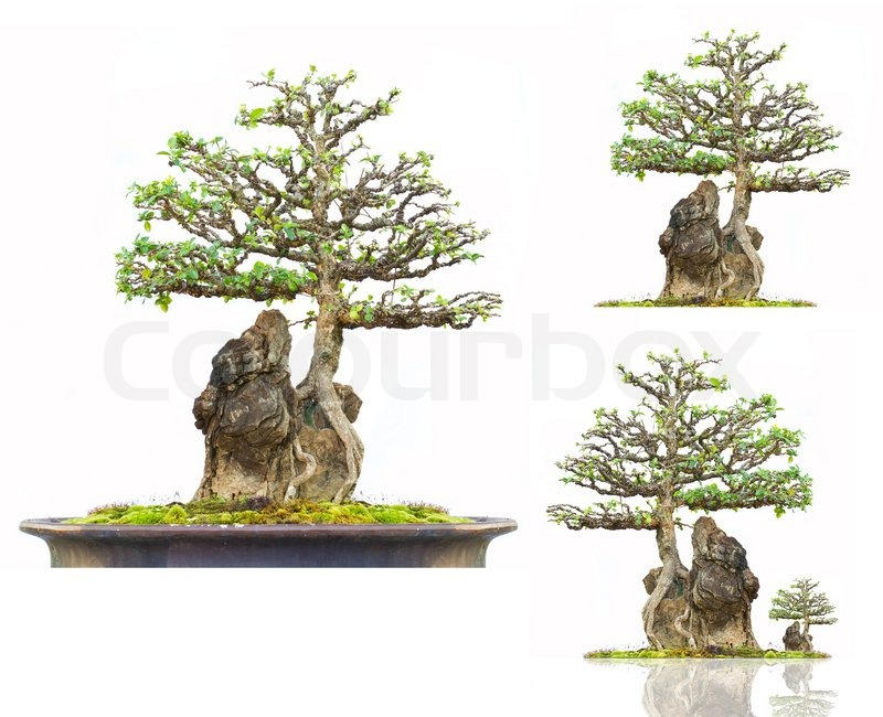 barbados kirsche bonsai baum auf stein mit wei em hintergrund stockfoto colourbox. Black Bedroom Furniture Sets. Home Design Ideas