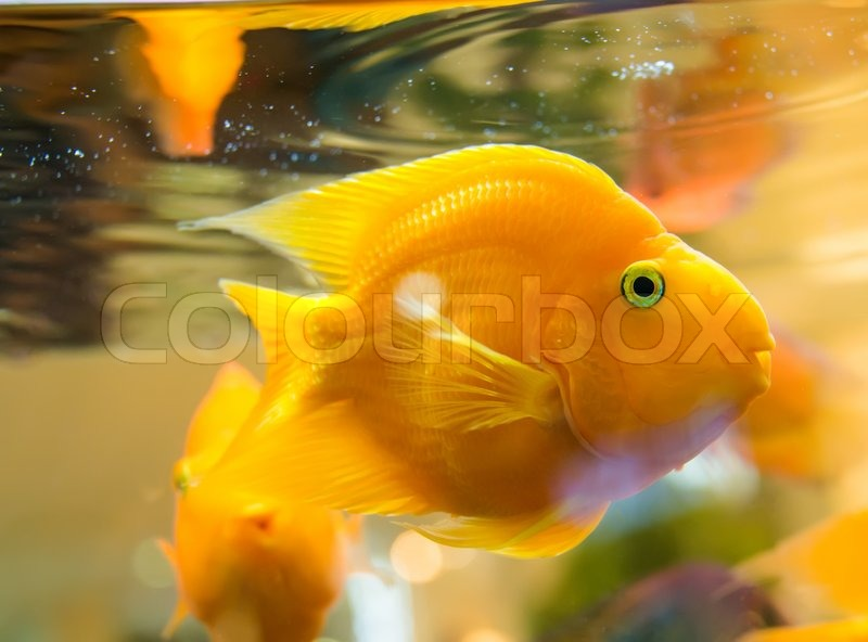 Goldfische im aquarium stockfoto colourbox for Goldfische im aquarium