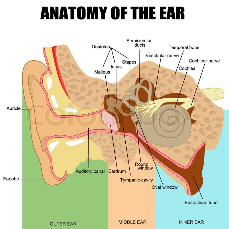 Anatomy of the human ear useful for education in schools and clinics ...