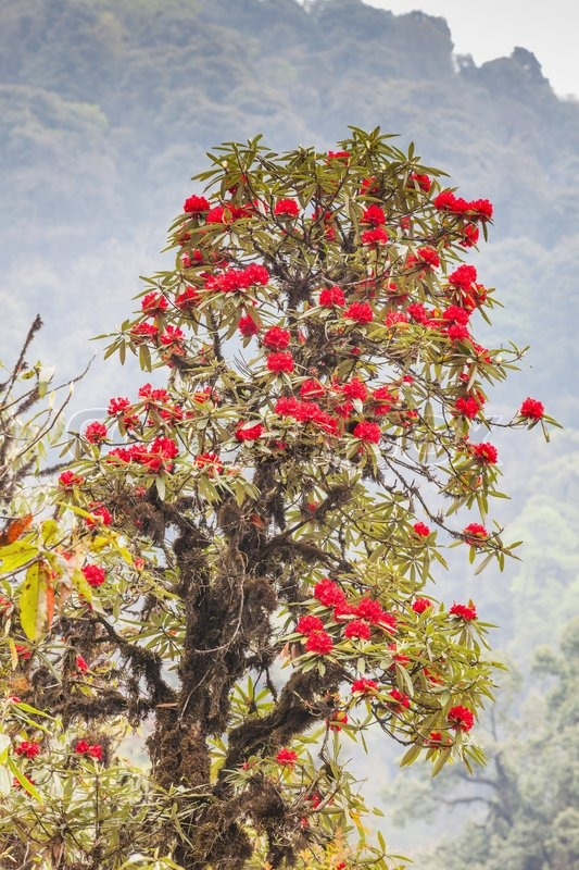 rhododendron pflanzen sind der himalaja auf dem berg. Black Bedroom Furniture Sets. Home Design Ideas