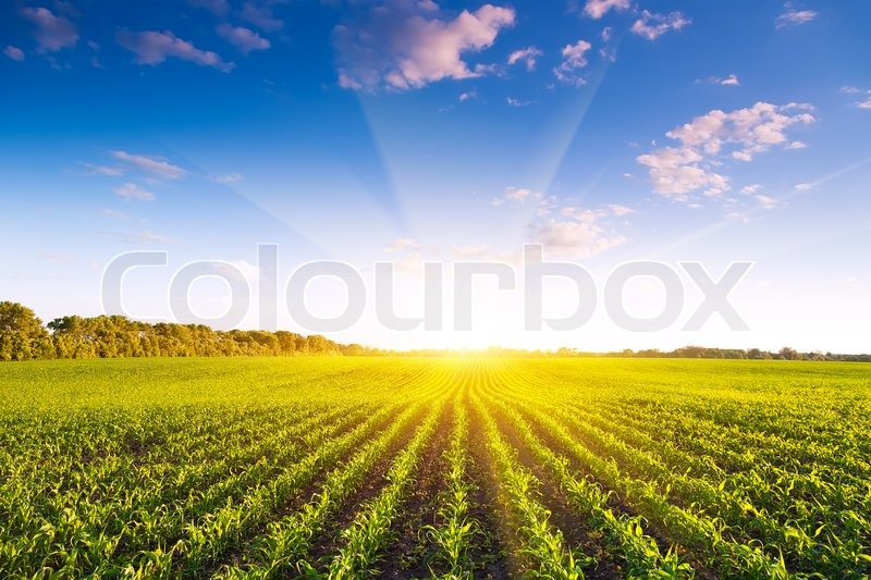Corn field, stock photo