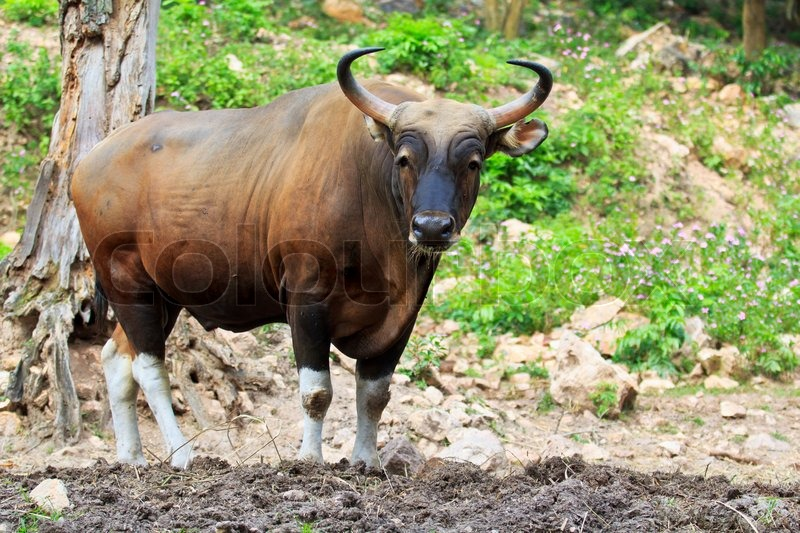 Banteng, red bull in rainforest of Thailand, stock photo