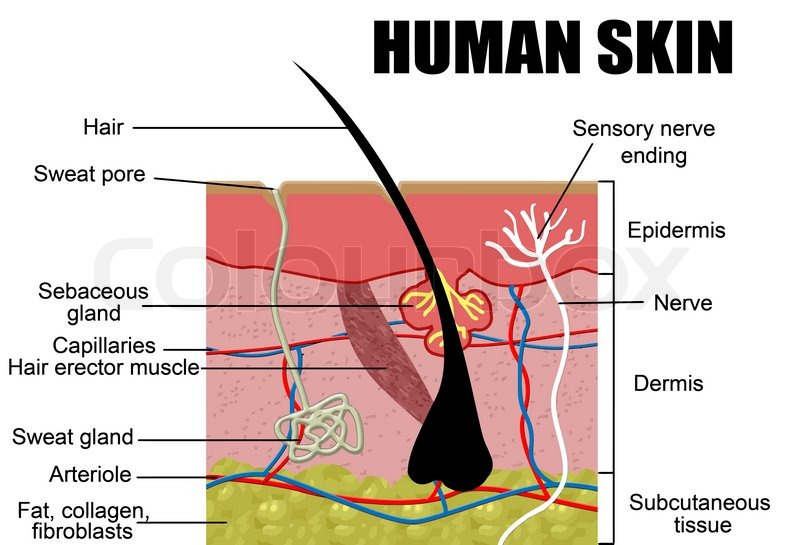 Human Skin Cross Section Vector Illustration Useful For Education