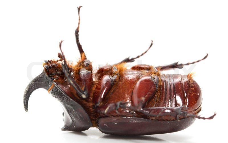 rhinoceros beetle on a white background macro stock photo colourbox