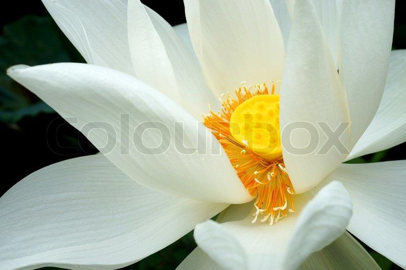 White beautiful lotus flower buddhist religious symbol stock white beautiful lotus flower buddhist religious symbol stock photo colourbox mightylinksfo