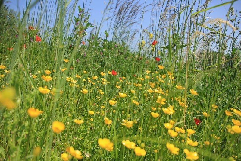 landschaft ein feld mit hohen gras mohn und bl henden butterblumen wilde blumen im fr hjahr. Black Bedroom Furniture Sets. Home Design Ideas