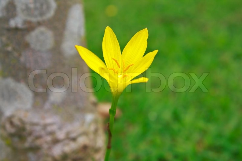 Stock image of 'Zephyranthes flower'