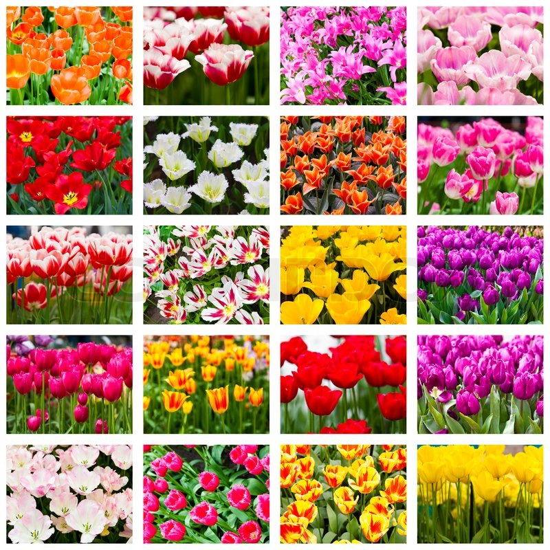 tulpen collage fr hlingsblumen stock foto colourbox. Black Bedroom Furniture Sets. Home Design Ideas