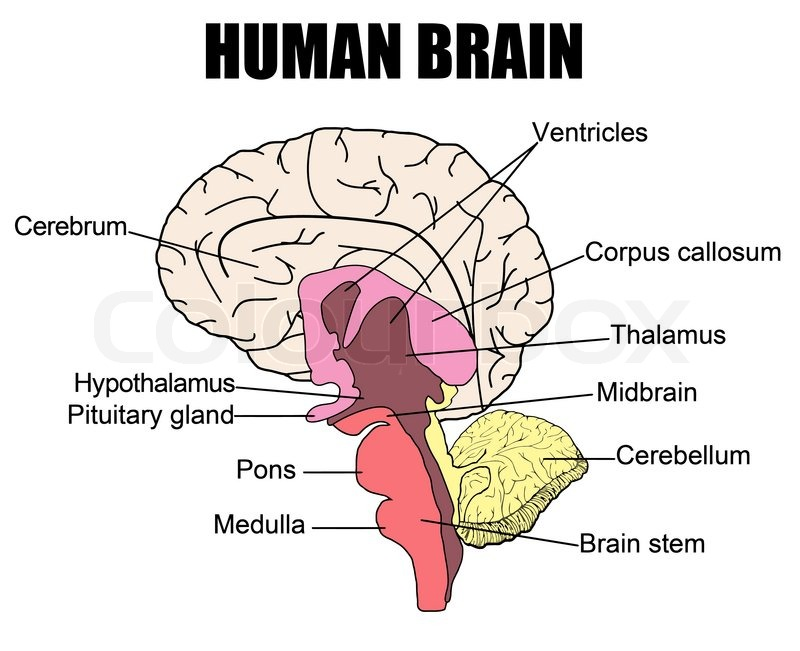 Anatomy of human brain, vector illustration for basic medical ...