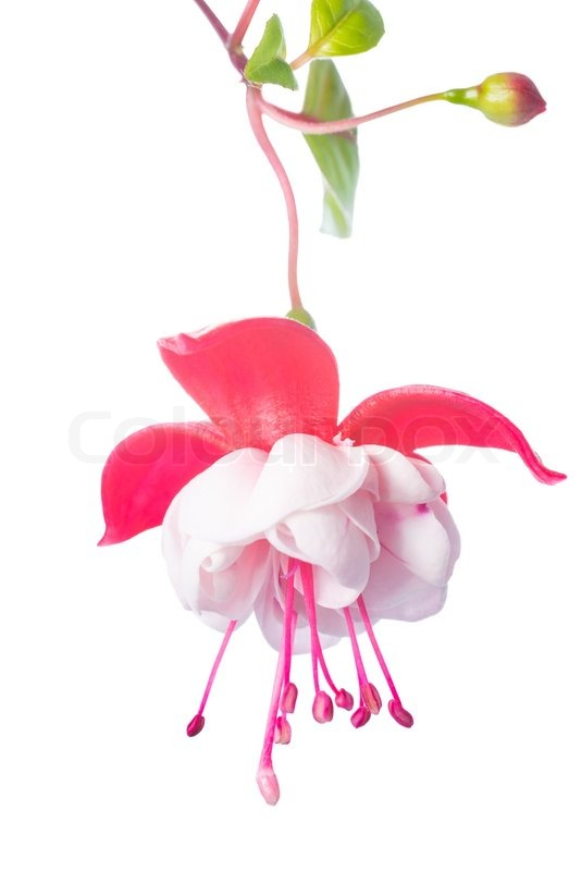 whiteand pink fuchsia flower isolated on white background