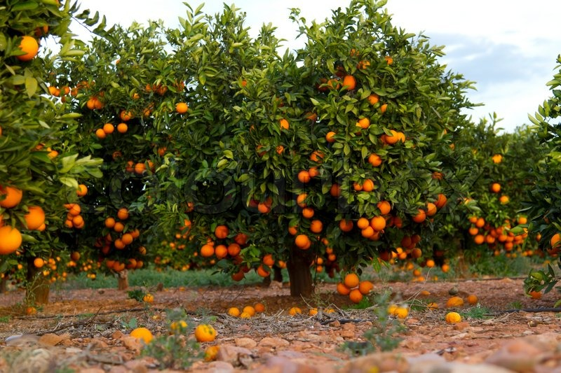 Image result for images of orange tree