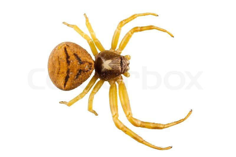 Goldenrod Crab Spider Species Misumena Vatia In High Definition With