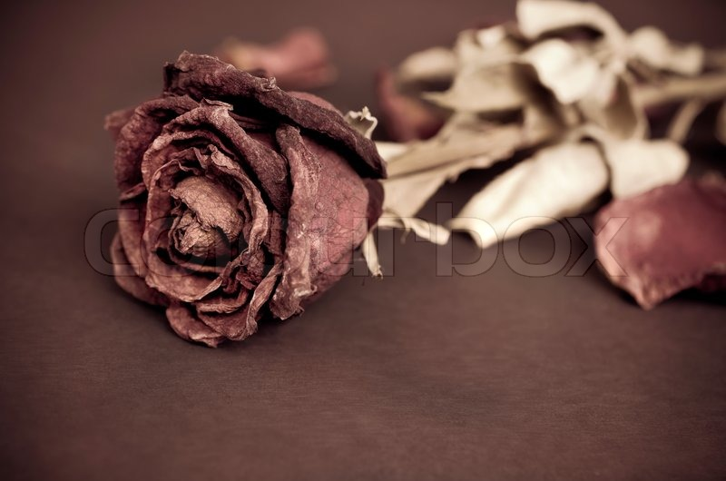 Single Dried Rose Dead With Text AreaProcessed Vintage Style