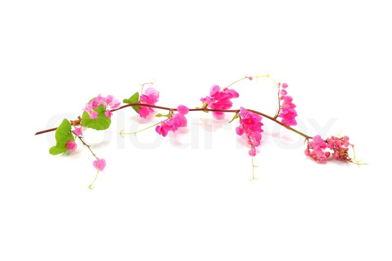 Pink Flower On A White BackgroundCoral Vine Mexican Creeper Chain Of Love