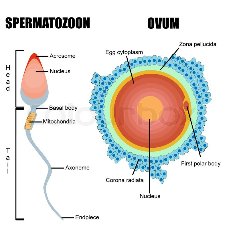 Structure of human gametes : egg and sperm useful for education in ...