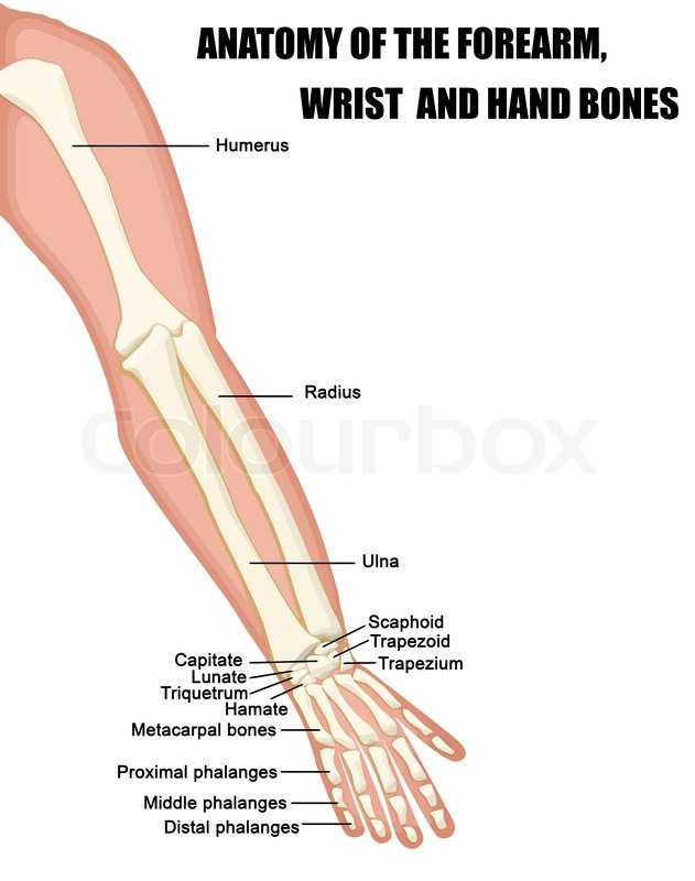 Anatomy of the Forearm, Wrist and Hand Bones useful for education in ...