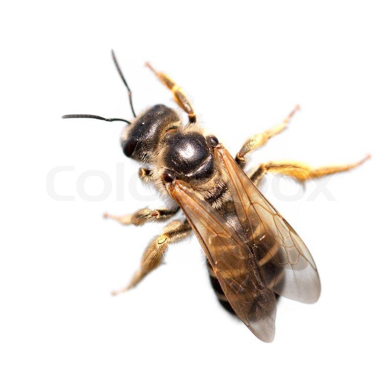 Biene auf einem weißen Hintergrund Makro   Stockfoto   Colourbox