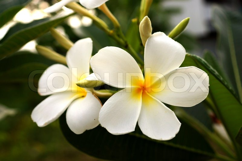 Weiße Frangipani Bäumen, duftenden Blumen in Spa | Stockfoto | Colourbox