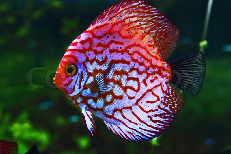 Pink discus stock photo colourbox for Best place to buy discus fish