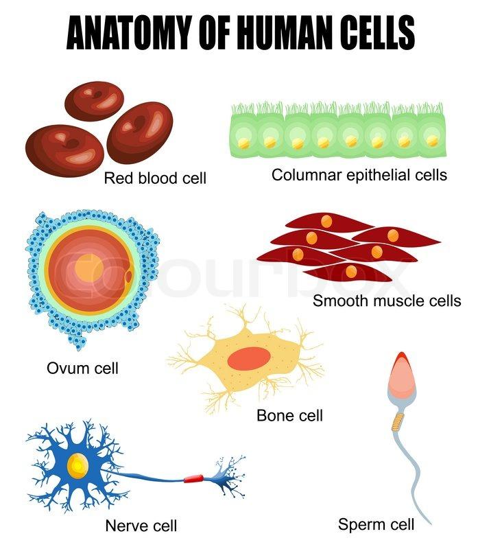 Anatomie der menschlichen Zellen | Vektorgrafik | Colourbox