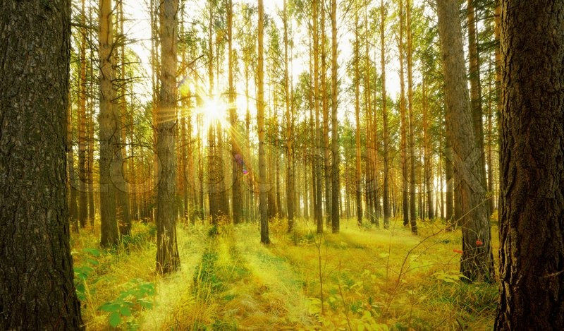 pine forest with the last of the sun stock photo