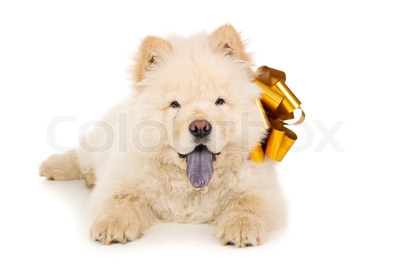 Chow chow puppy with a bow isolated | Stock image | Colourbox