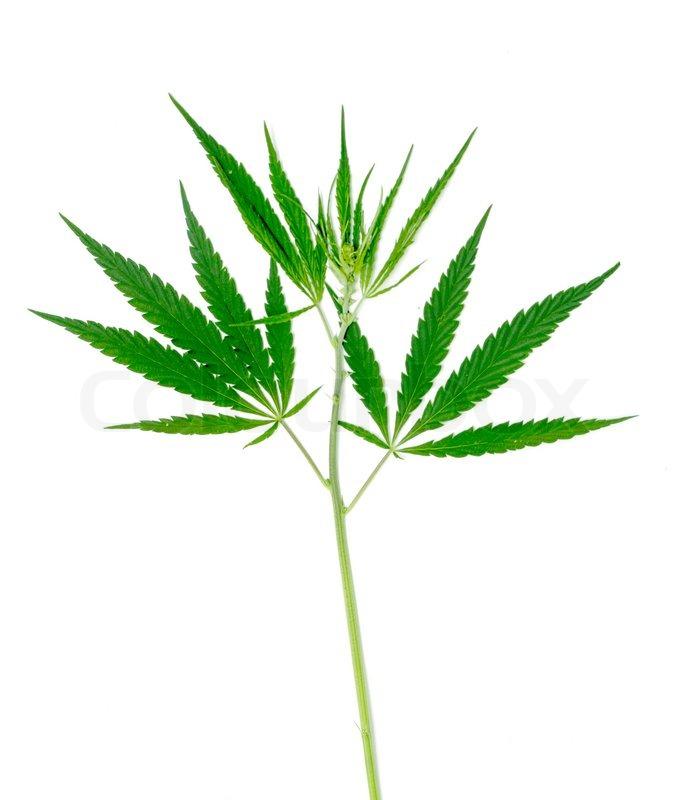 cannabis pflanze auf einem wei en hintergrund isoliert stockfoto colourbox. Black Bedroom Furniture Sets. Home Design Ideas