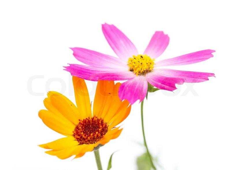 Cosmos , Blumen auf einem weißen Hintergrund | Stockfoto | Colourbox