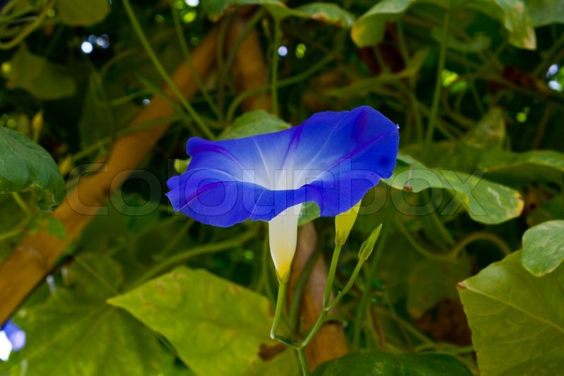 Stock image of 'Butterfly pea flower in garden'