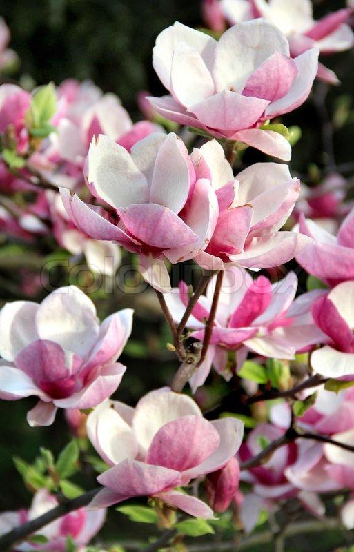 Beautiful magnolia trees in bloom with beautiful big flowers stock beautiful magnolia trees in bloom with beautiful big flowers stock photo colourbox mightylinksfo