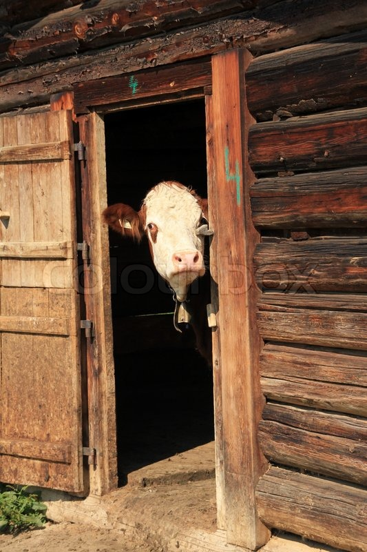 The shy cow with bell, farm animal and ruminant is ...