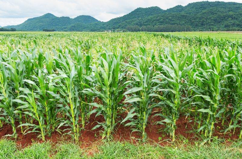 Corn Plantation In Thailand Stock Photo Colourbox