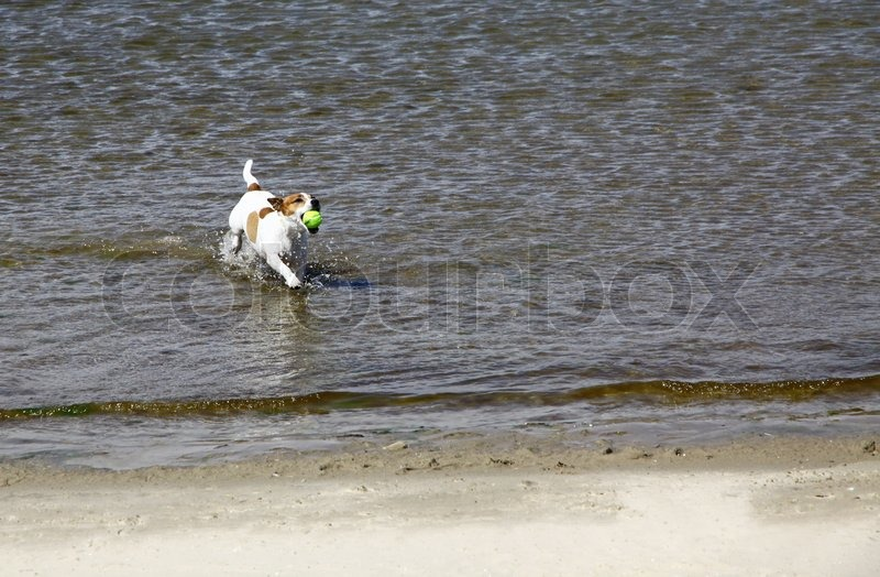 Smooth coated Jack Russell Terrier dog running on the beach, stock photo