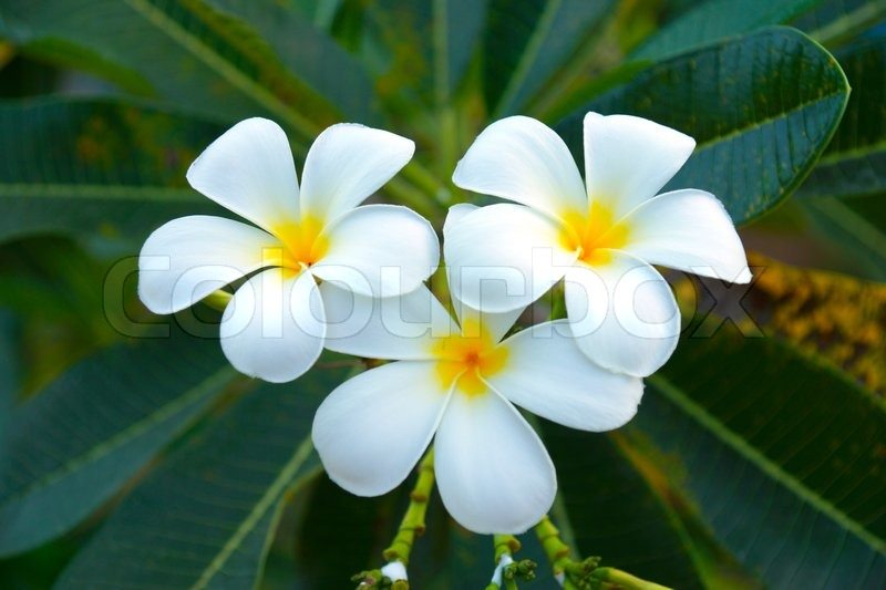 White and yellow frangipani flowers with leaves in background ...